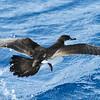 Audubon's Shearwater, off Hatteras July 2012