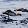 Great Shearwater, off Hatteras July 2012