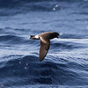 Band-rumped Storm-petrel, off Hatteras July 2012