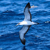 Cory's Shearwater, off Hatteras July 2012