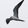 Bridled Tern, off Hatteras July 2012