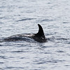 Risso's Dolphin, off Hatteras July 2012