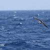 Black-capped Petrel, off Hatteras July 2012