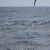 beehive of Cory's Shearwaters, off Hatteras 9 August 2014