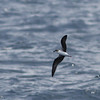 Fea's Petrel, off Hatteras 8 August 2014