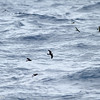 Band-rumped Storm-petrel with Wilson's Storm-petrels, off Hatteras 8 August 2014