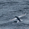 flying fish, off Hatteras 9 August 2014