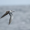 Bridled Tern, off Hatteras 9 August 2014
