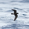 Band-rumped Storm-petrel, off Hatteras 8 August 2014