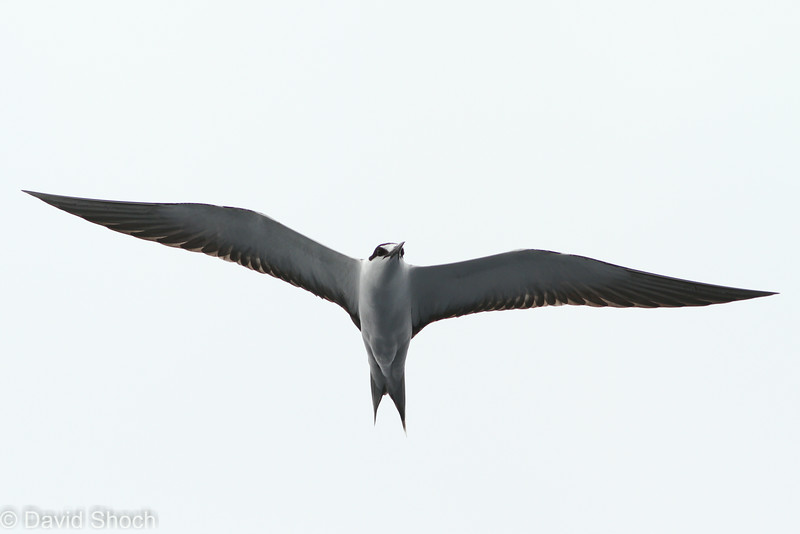 Sooty Tern, off Hatteras 9 August 2014