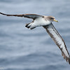 Cory's Shearwater, off Hatteras 9 August 2014