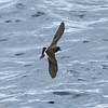 Band-rumped Storm-petrel (apparently molting inner ss), off Hatteras 8 August 2014