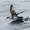 heavily worn and molting Audubon's Shearwater, off Hatteras 9 August 2014