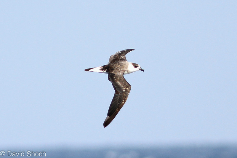 Black-capped Petrel, off Hatteras 8 August 2014
