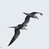 Sooty Terns, off Hatteras 9 August 2014