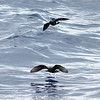 Band-rumped and Wilson's Storm-petrels, off Hatteras 8 August 2014