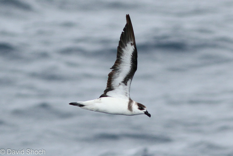 Black-capped Petrel, off Hatteras 9 August 2014