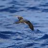 light morph Trindade Petrel off Hatteras 17 Jul 2011