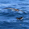 Manx Shearwater (with Great Shearwater passing overhead) off Hatteras, 16 July 2011