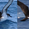 Manx Shearwater (l) and Audubon's Shearwater (r)