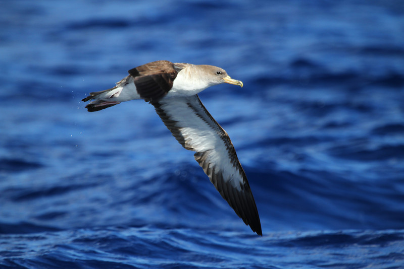 Cory's Shearwater off Hatteras, 17 July 2011