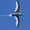 White-tailed Tropicbird off Hatteras, 17 July 2011