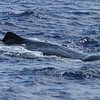 Sperm Whale off Hatteras, 17 July 2011