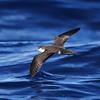 Audubon's Shearwater off Hatteras, 16 July 2011