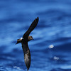 Band-rumped Storm-petrel off Hatteras, 16 July 2011