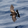 Wilson's Storm-petrel, 27 May 2011 off Hatteras