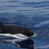 False Killer Whale, 29 May 2011 off Hatteras