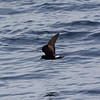 Band-rumped Storm-petrel (apparent summer breeding Madeiran; p1 appears to be missing), 28 May 2011 off Hatteras