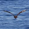 South Polar Skua, 29 May 2011 off Hatteras