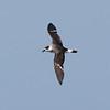 """dark-faced"" Black-capped Petrel in wing molt, 26 May 2011 off Hatteras"