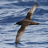 Sooty Shearwater, off Hatteras, 24 May 2013