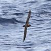 light morph Trindade Petrel, off Hatteras, 26 May 2013