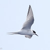 first summer Arctic Tern, off Hatteras, 24 May 2013