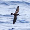 Band-rumped Storm-petrel (Madeiran or juvenile Grant's), off Hatteras, 24 May 2013