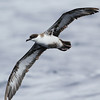 Great Shearwater, off Hatteras, 24 May 2013