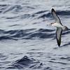 Cory's Shearwater, off Hatteras, 26 May 2013