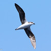 Fea's Petrel (second bird, in afternoon), off Hatteras, 25 May 2013
