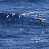Fea's Petrel, off Hatteras, 25 May 2013