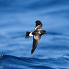 aberrant Wilson's Storm-petrel, off Hatteras, 25 May 2013