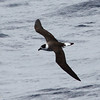 Black-capped Petrel, off Hatteras, 24 May 2013
