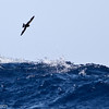 Wilson's Storm-petrel, off Hatteras, 24 May 2014