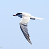 Common Tern, off Hatteras, 23 May 2014