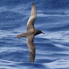 Sooty Shearwater, off Hatteras, 23 May 2014