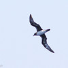 Trindade Petrel, off Hatteras, 23 May 2014