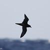 dark morph Trindade Petrel, off Hatteras, 24 May 2014