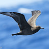 2-3 year old Pomarine Jaeger, off Hatteras, 24 May 2014